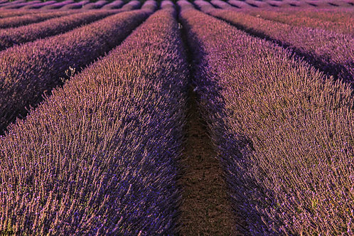 Levander Fields - Provence