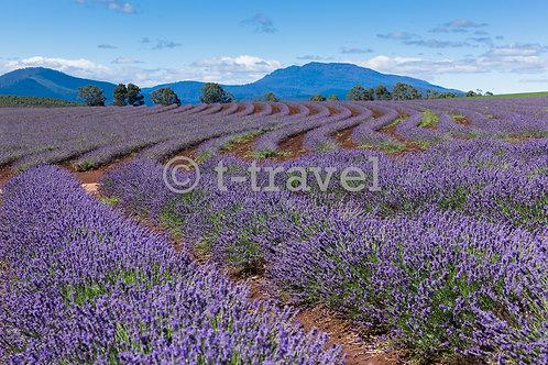 Tasmania Lavenders X