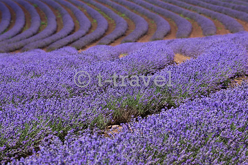 Tasmania Lavenders I
