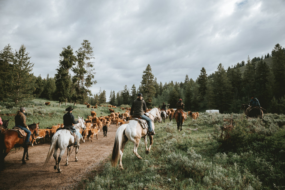 Hereford Ranch Cattle Drive