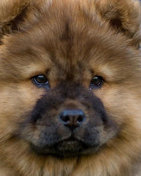 #thatfacetho #chowchow #chow #dogsofinst
