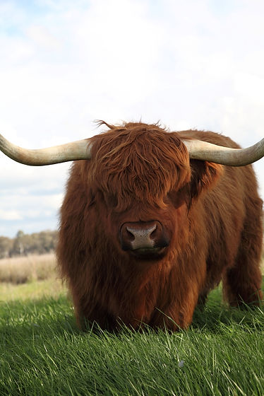 Some of the most succulent beef our Highland cattle are fattened on grass to produce a well marbled meat.