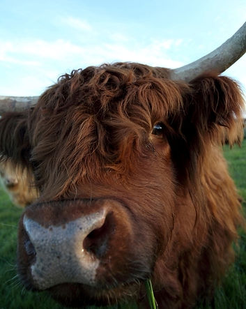 This is Guppy one of our Highland family.  She is cheeky and loves a pat when ever we are in the paddock.