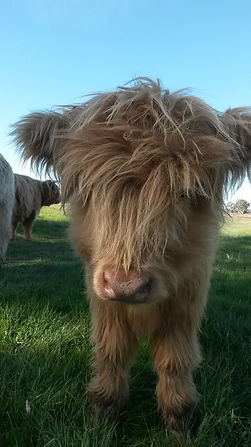 A young Highland cattle calf.