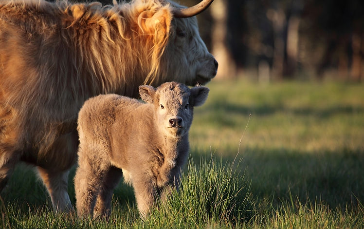 This Highland calf is pure bred DNA certified.  Rare breed colour of grey which is referred to within Highland breeders as being a Dun. This is Liadan.
