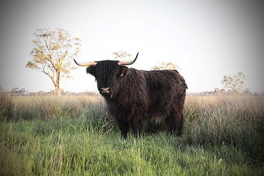 The Kyloe is a smaller style Highland cow. Many are black in colour. This is KOBE one of our main breeding cows at our Milawa farm.