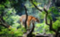 tiger_animals_big_cats_trees_nature_bran