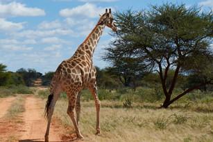 giraffe crossin