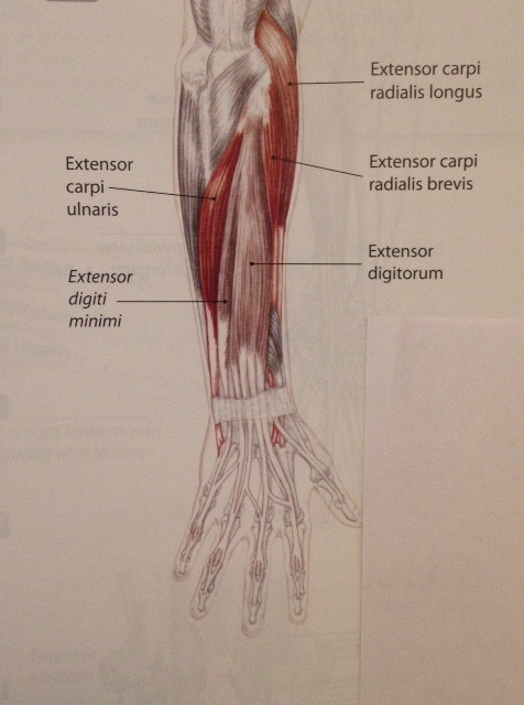 Extensors of the wrist and fingers