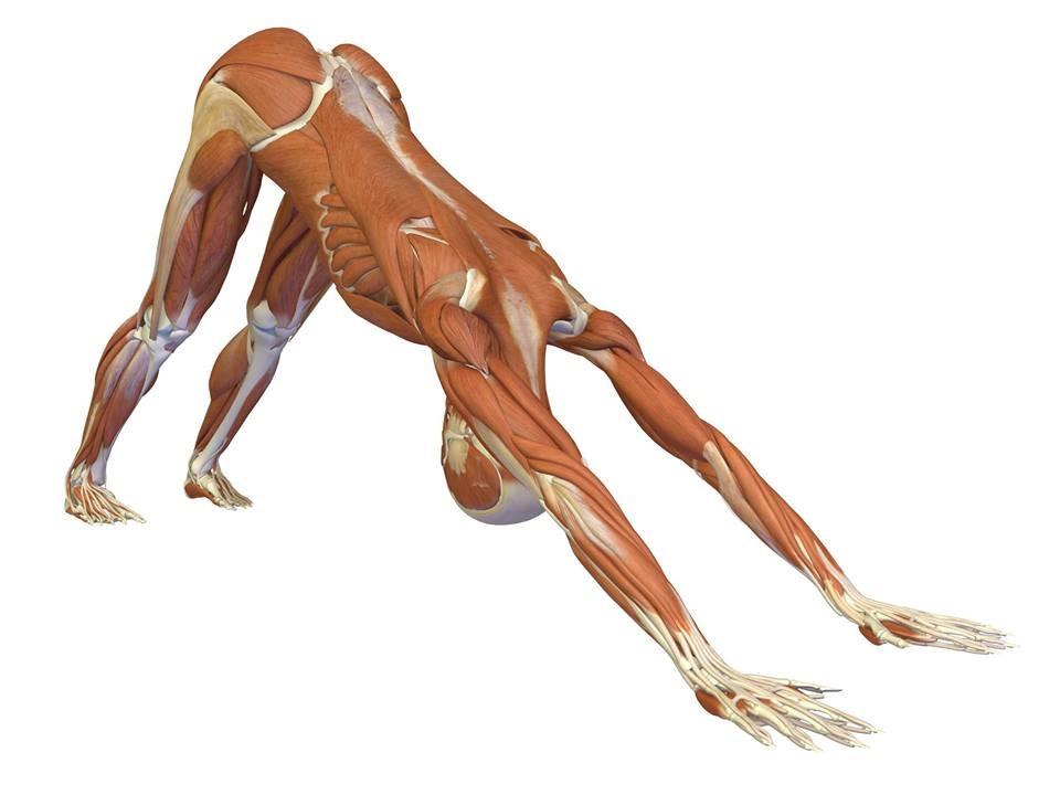 Muscle image of downward facing dog
