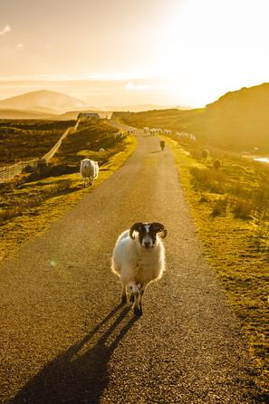 Pentland Road Sheep