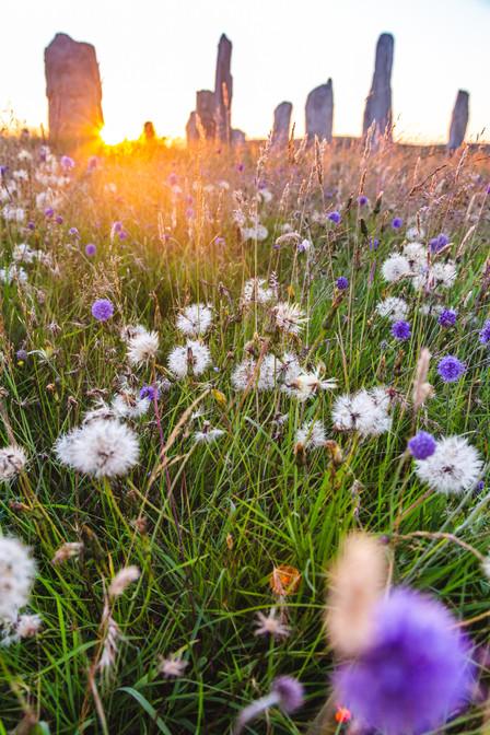 Wild flowers at the Callanish Stones