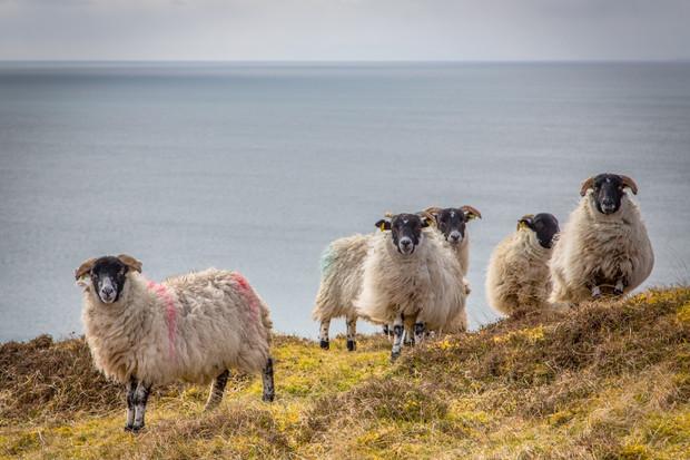 Lewis Sheep