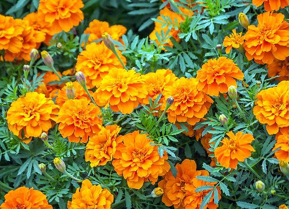 Hawai'i Marigold