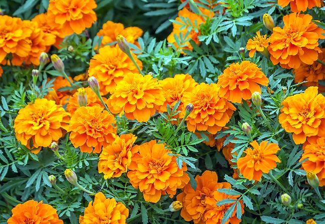 French marigold.jpg