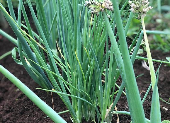 Koba Onions