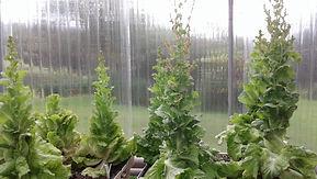 lettuce seeding.jpg