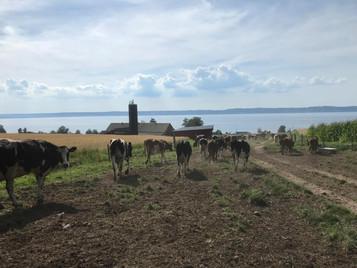 Kossorna på väg hem för kvällsmjölkning.