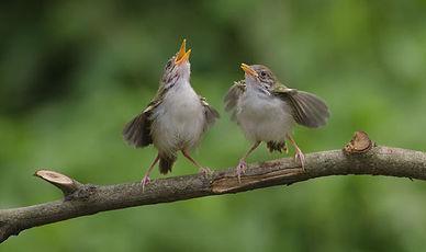 birds-singing-956211.jpg