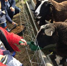 Who is feeding the sheep?