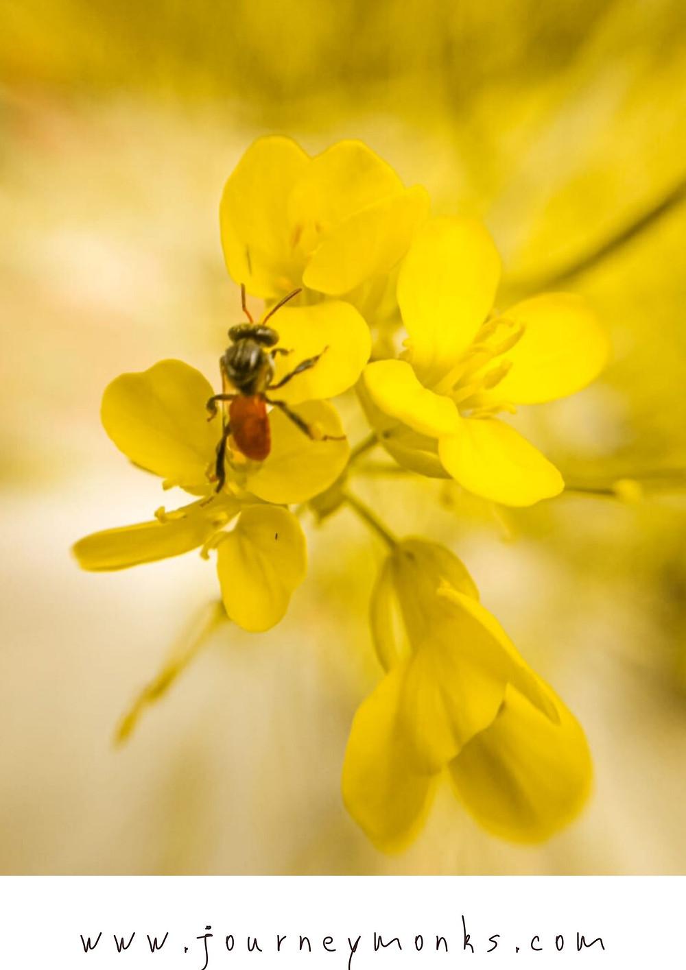 bee,honey bee,honey bee on flower,yellow flower