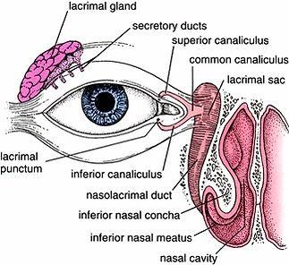 lacrimal anatomy.jpg