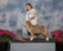 Hearthside Eloquence, Ontario Australian Shepherd Breeder