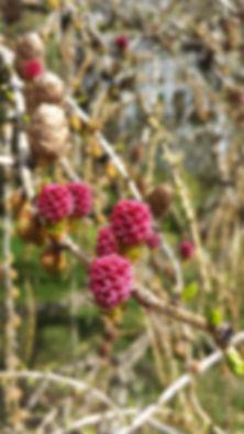 larchflower.jpg