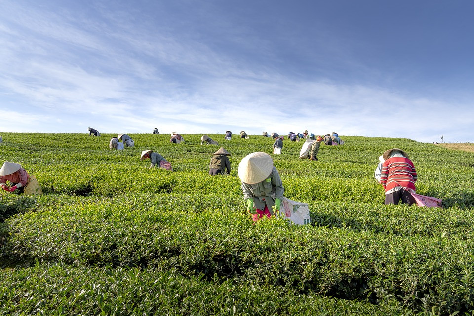 Ronnefeldt tea and Hausbrandt coffee aspire to reach the fair trade international standards with constant improvements from all perspectives. This photo if you look carefully, the workers are well uniformed and covered from the sun. They are wearing gloves to protect their hands.