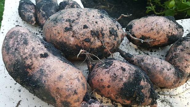 sweet potato 3.jpg