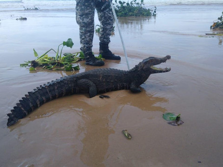 Ação conjunta captura jacaré em praia de Salvador