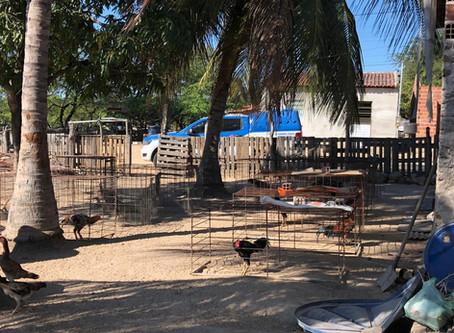 Operação contra rinhas de galo conduz 60 pessoas em Paulo Afonso