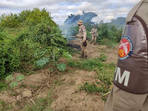Mais de 12 mil pés de maconha são descobertos em Curaçá