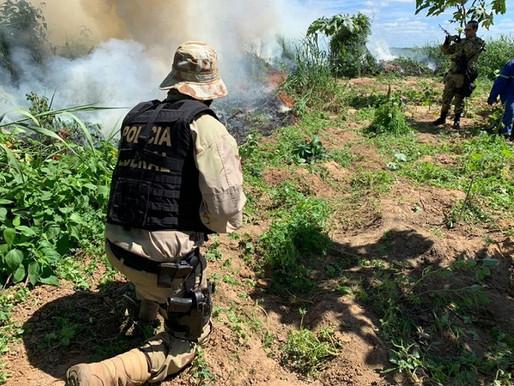 PF realiza erradicação de 96 mil pés de maconha encontradas em ilhas do Rio São Francisco