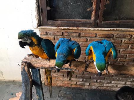 Oito araras amarelas são resgatadas de cativeiro na capital