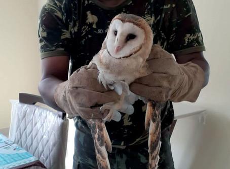 CIPPA resgata duas corujas em telhado de residência