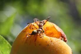 Reunião com Secretário Nacional de Defesa Agropecuária debaterá sobre combate à mosca das frutas