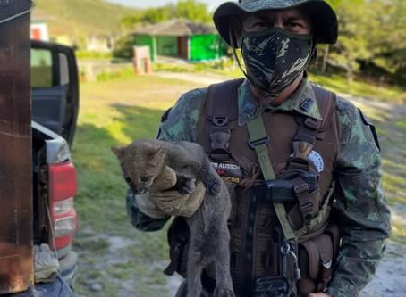 Cippa de Lençóis resgata Jaguarandi em residência