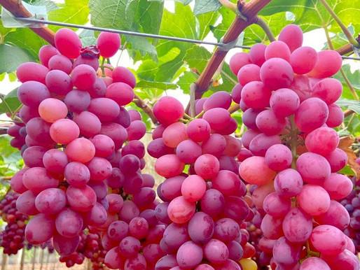 Abrafrutas e Embrapa lançam nova variedade de uva brasileira para plantio no Vale do São Francisco