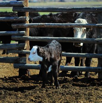 h-lazy-p-cattle-Black-Baldy-calf-cow.jpg
