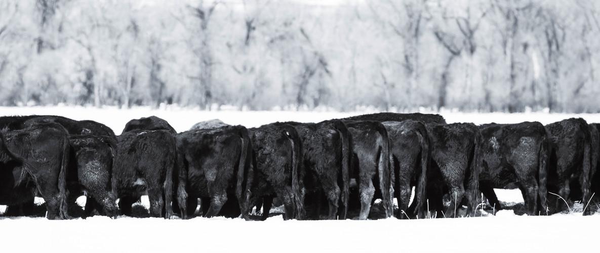 h-lazy-p-cattle-black-cows-winter-feedin