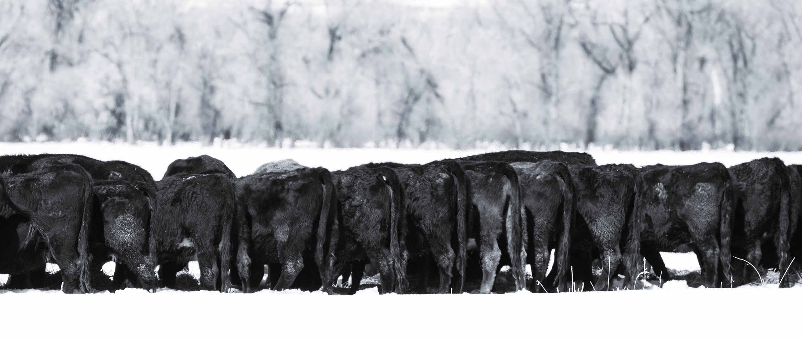 h-lazy-p-cattle-black-cows-winter-feedin