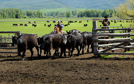 h-lazy-p-cattle-cows-gathering-spring-br