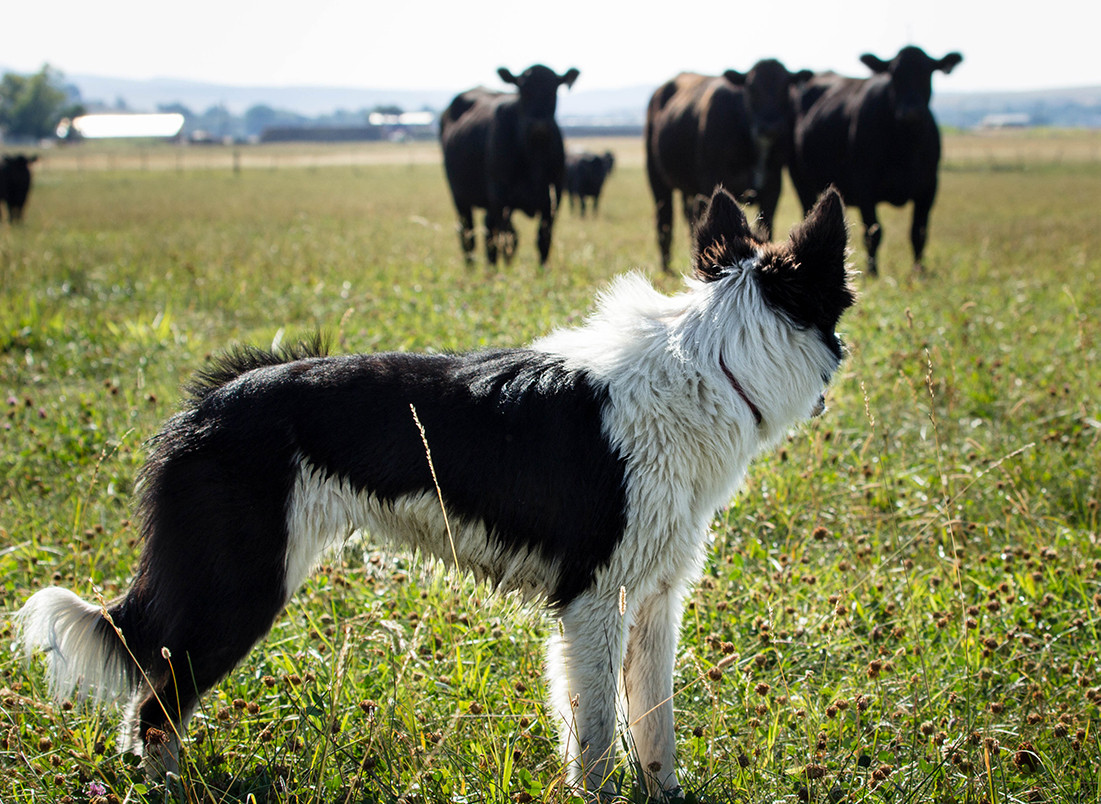 h-lazy-p-cattle-border-collie-black-cows