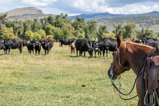 h-lazy-p-cattle-quarter-horse-black-cows