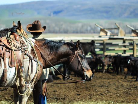 h-lazy-p-cattle-horse-rope-calves.jpg