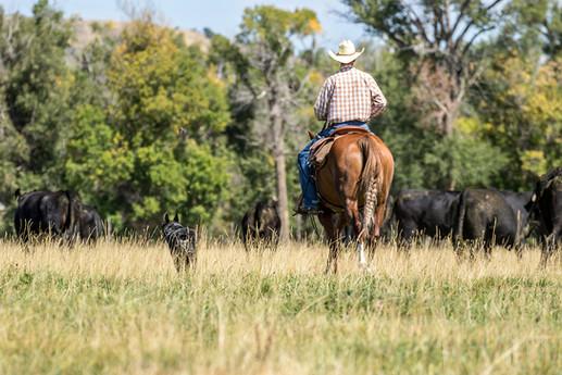 h-lazy-p-cattle-quarter-horse-dog-black-