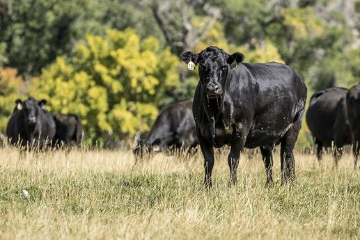 h-lazy-p-cattle-black-cow-late-summer.pn