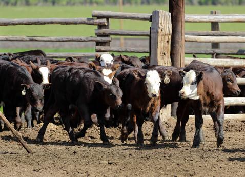 h-lazy-p-cattle-calves-baldy-black.jpg