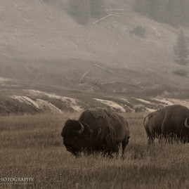 Yellowstone Bison 2
